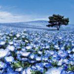 Синяя немофила