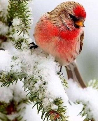 Одинокий снегирь